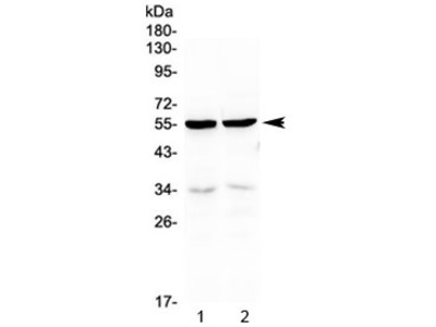 PTP1B Antibody (N-Terminal Region)