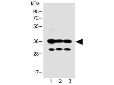 OR5V1 Antibody (C-Terminal Region)