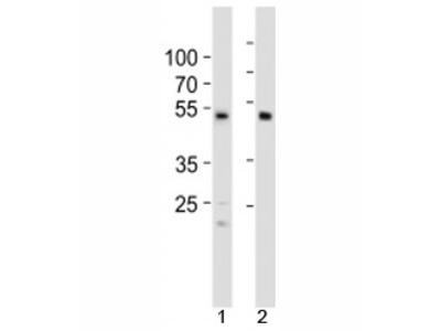 SOX7 Antibody