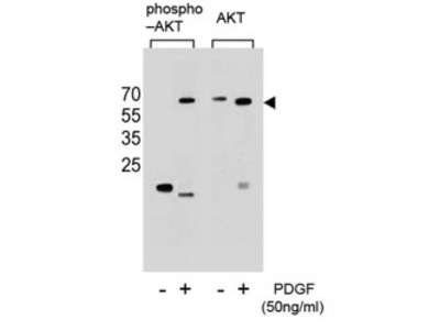 AKT1 Antibody (pS473)