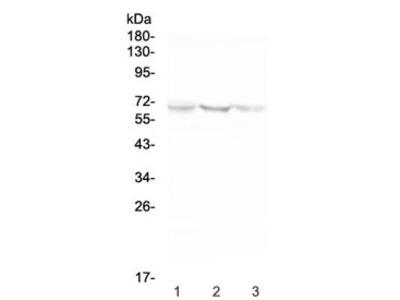 NOX2 Antibody / gp91phox