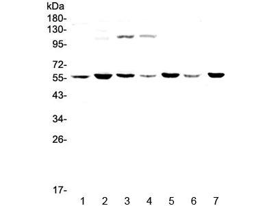 CHRNA3 Antibody