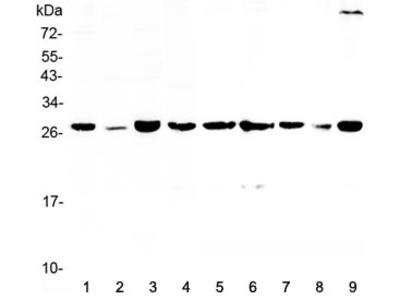 14-3-3 sigma Antibody