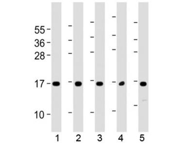 Eotaxin 3 Antibody / CCL26 (C-Terminal Region)