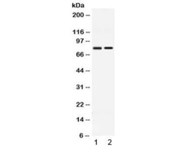 AMFR Antibody / GP78