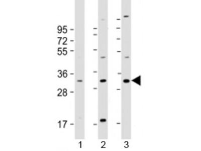 FAM125A Antibody / CFBP
