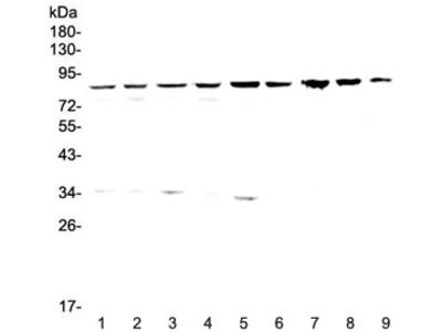 CD2AP Antibody
