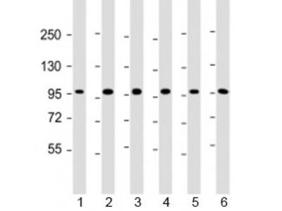 TAF4 Antibody / TBP associated factor 4