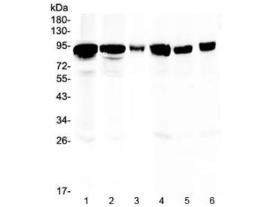Periostin Antibody