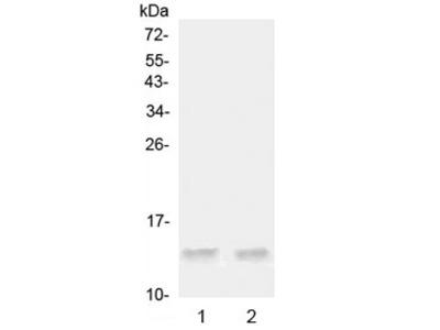 Ccl20 Antibody / Mip-3 alpha