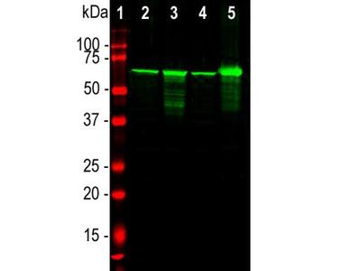 Rabbit Polyclonal NF-L Antibody