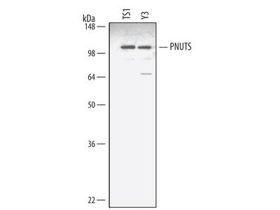 PNUTS Antibody