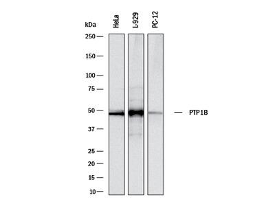 PTP1B Antibody