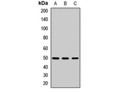 LILRB4 antibody