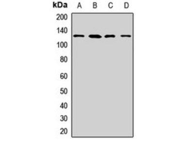 LRPPRC antibody