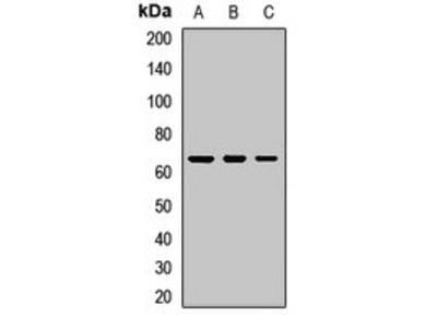 C4BPA antibody