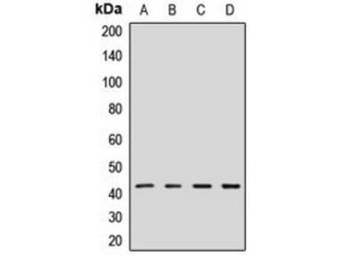 GPN1 antibody