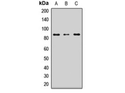 LRSAM1 antibody
