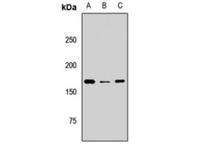 BAZ1B antibody