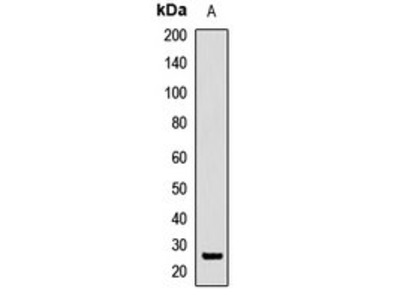SRSF9 antibody