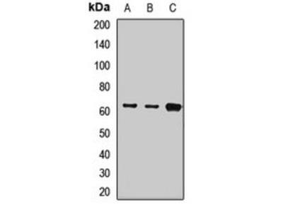 KRT9 antibody