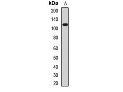 TRPA1 antibody