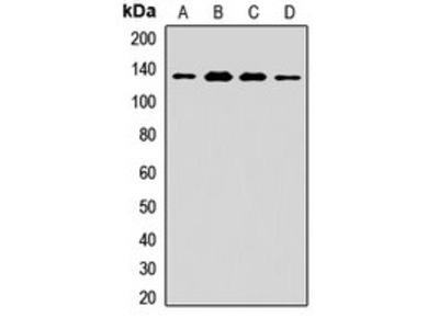 NRD1 antibody