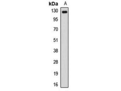 NUP133 antibody