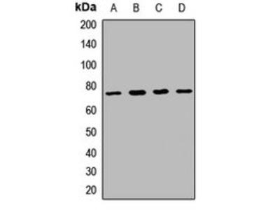 SLC20A1 antibody