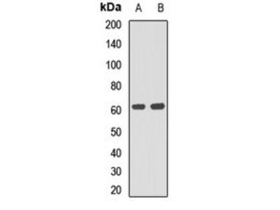 P4HA1 antibody