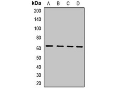 IL4I1 antibody