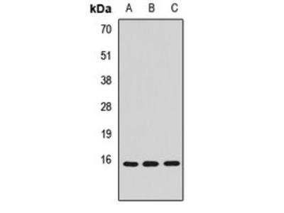 CISD2 antibody