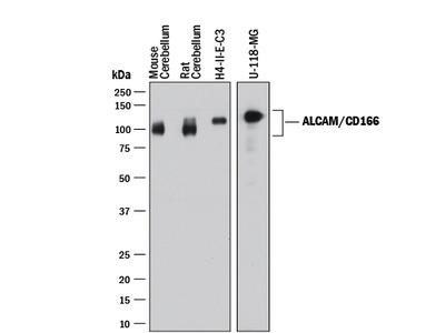 ALCAM / CD166 Antibody