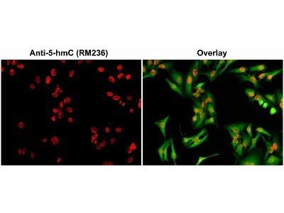 5-Hydroxymethylcytosine Antibody (236)