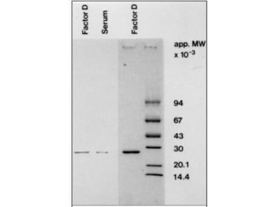 Complement Factor D / Adipsin Antibody (D10 / 4) - BSA Free