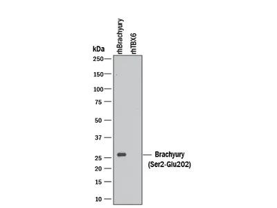 Brachyury Antibody