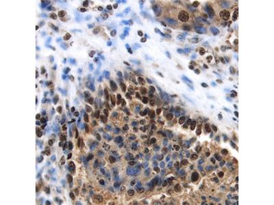 Phospho-Histone H2AX (S139) Antibody