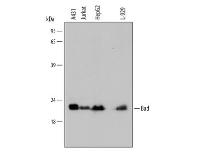 Human / Mouse Bad Antibody