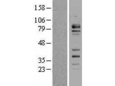 FCHSD2 Overexpression Lysate