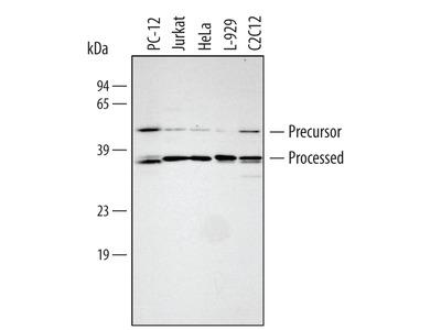 Human / Mouse / Rat HTRA2 / Omi Antibody