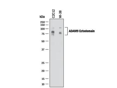ADAM9 Ectodomain Antibody
