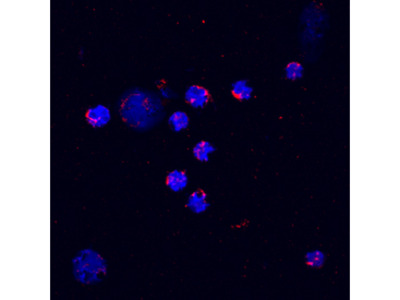 Mouse CXCL2 / GRO beta / MIP-2 / CINC-3 Biotinylated Antibody