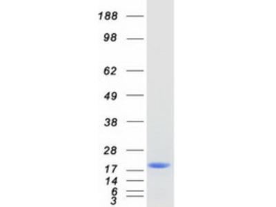 C16orf55 (SPATA33) (NM_153025) Human Mass Spec Standard