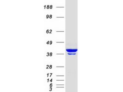 beta Actin (ACTB) (NM_001101) Human Mass Spec Standard
