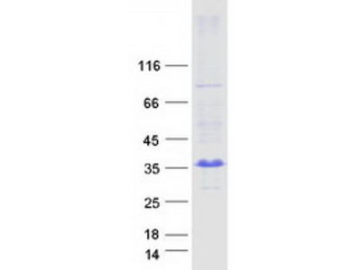 ARL10 MS Standard C13 and N15-labeled recombinant protein (NP_775935)