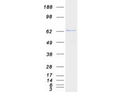 ARFGAP3 MS Standard C13 and N15-labeled recombinant protein (NP_055385)
