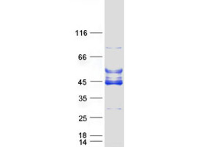 C6orf81 MS Standard C13 and N15-labeled recombinant protein (NP_659465)