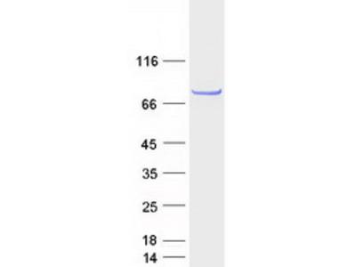 C6orf97 (CCDC170) (NM_025059) Human Mass Spec Standard