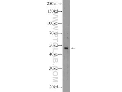 KRT40 antibody