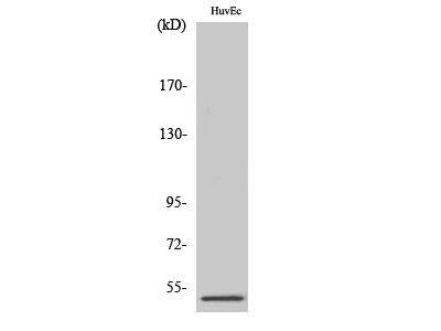 Anti-PPP2R3C antibody